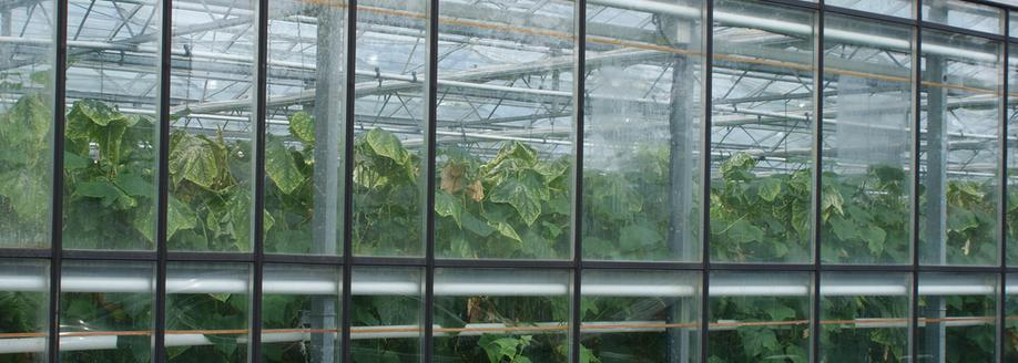 Cucumber Plants in Greenhouse