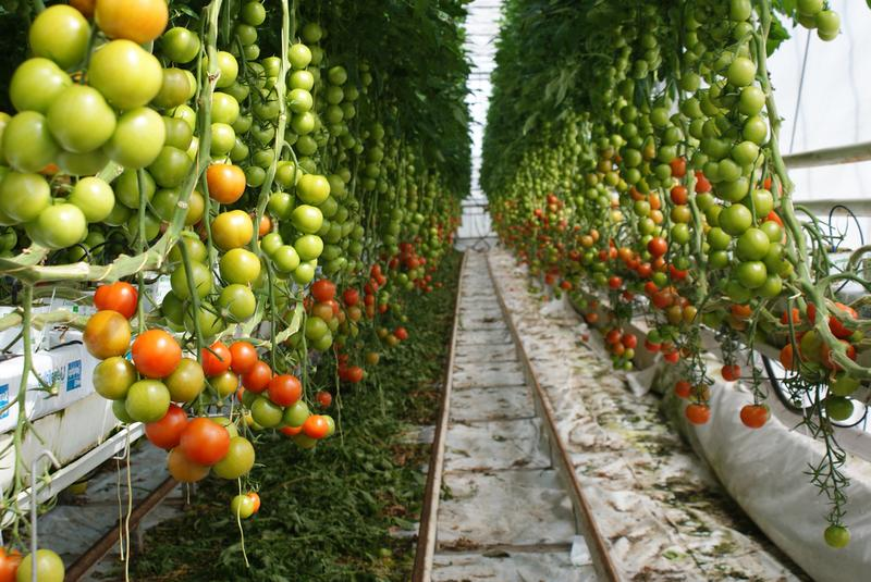 Home Growers Of Tomatoes Cucumbers And Soft Fruits